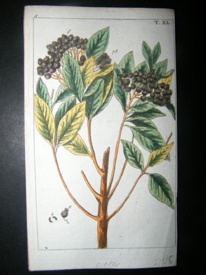 Wilhelm C1790's H/Col Botanical Print. Allspice, pimento or Jamaica pepper 5-40 | Albion Prints